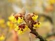 Eau florale d'hamamelis