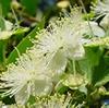 Eau florale de myrte