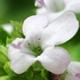 Eau florale de thym