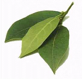 Huile essentielle de feuilles de laurier