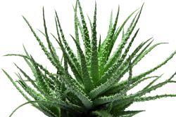 Huile d'Aloes vera
